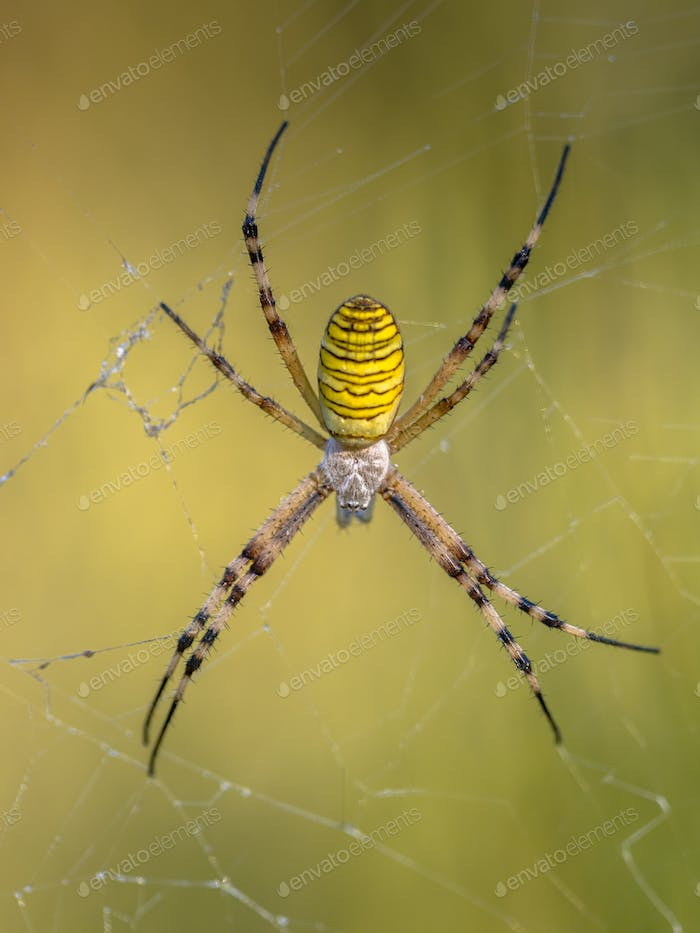 Wasp spider waiting for prey