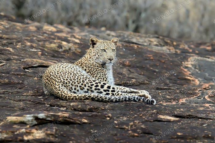 Leopard im Nationalpark Kenias