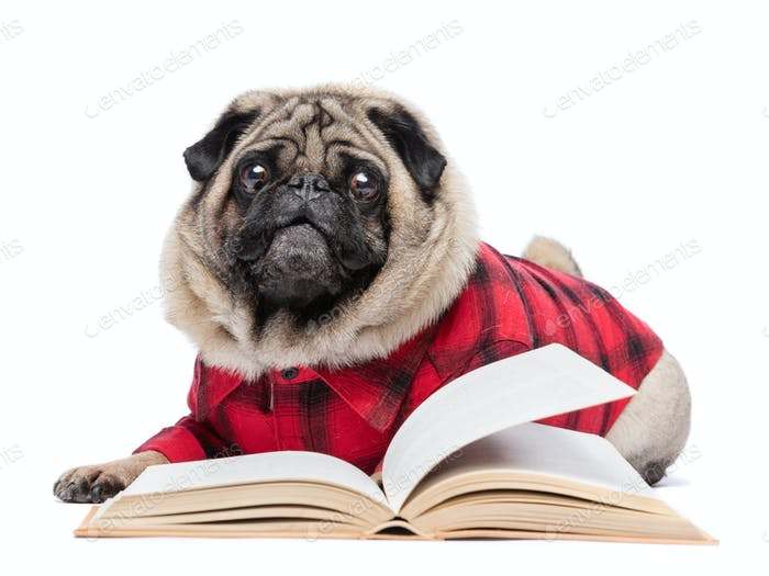 Fluffy pug dog laying by the open book.