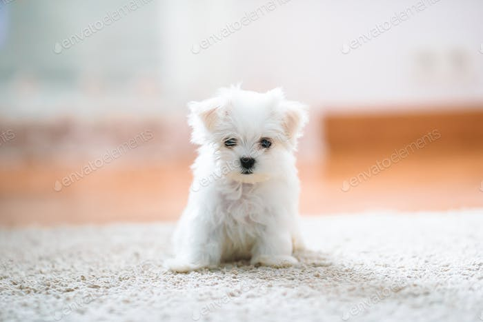 White cute maltese puppy, 2 months old looking at us
