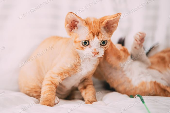 Funny Curious Young Red Ginger Devon Rex Kitten Playing Together At Home Sofa. Short-haired Cat Of