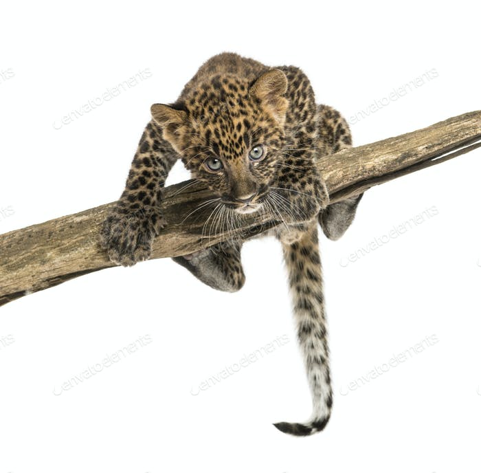Spotted Leopard cub facing and prowling on a branch, 7 weeks old, isolated on white