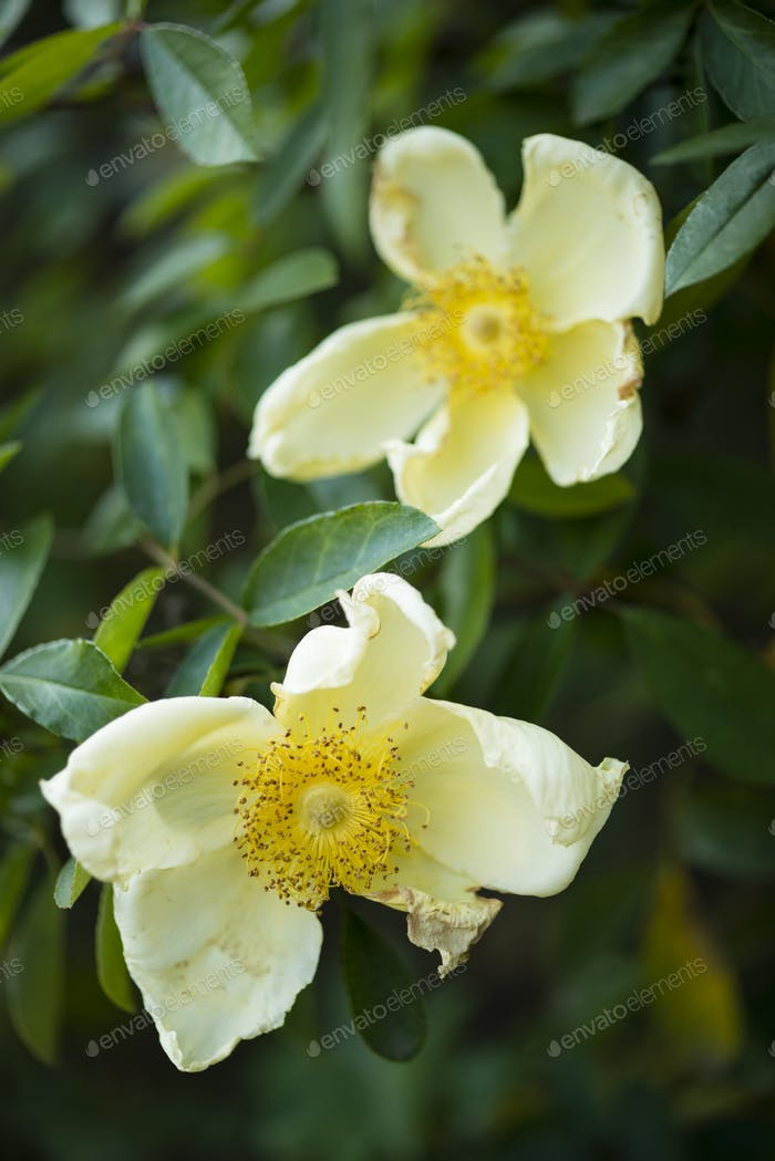 withering wild rose flowers