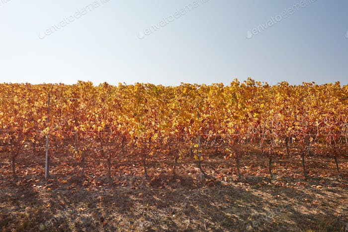 Vine row in autumn with yellow leaves, blue sky in a sunny day