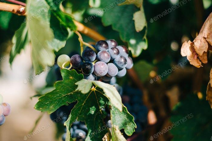 Beautiful green vineyard in Spain