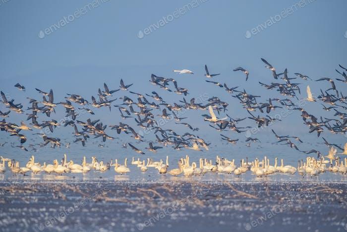 flock of migratory birds scene