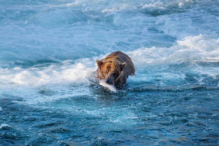 Bär auf Alaska