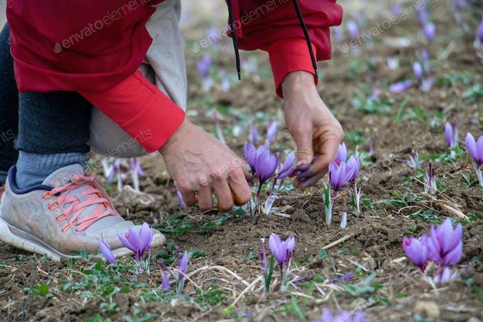 Safran-Krokusblüten-Ernte, Zarte lila PflanzSammlung im Feld