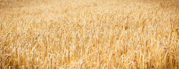 Ripening ears of wheat or rye as background, agriculture and rich harvest concept