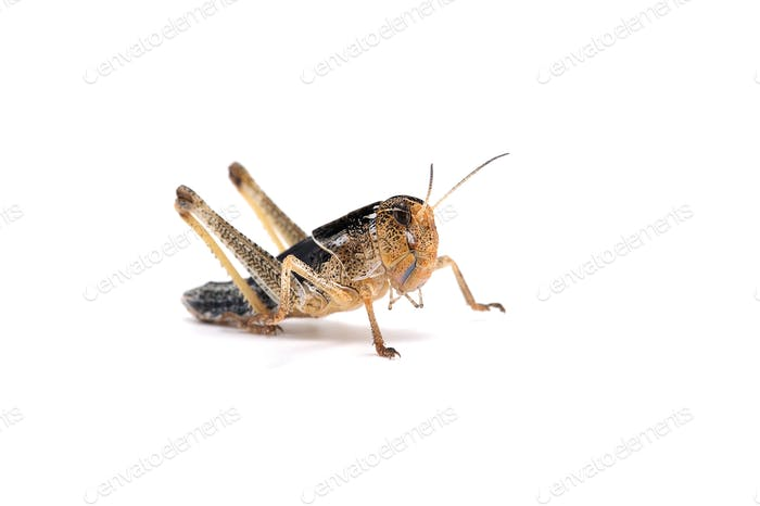 Locust isolated on white background