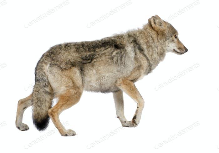 old European wolf - Canis lupus lupus