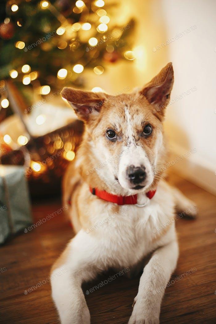 schönen niedlichen Hund auf dem Hintergrund der goldenen schönen Weihnachtsbaum