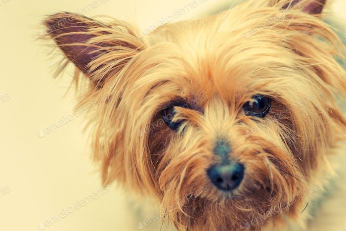 Australian Silky Terrier Hund