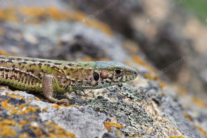 gray lizard (lacerta agilis)