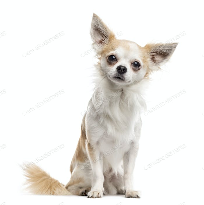Chihuahua sitting and looking at the camera, isolated on white