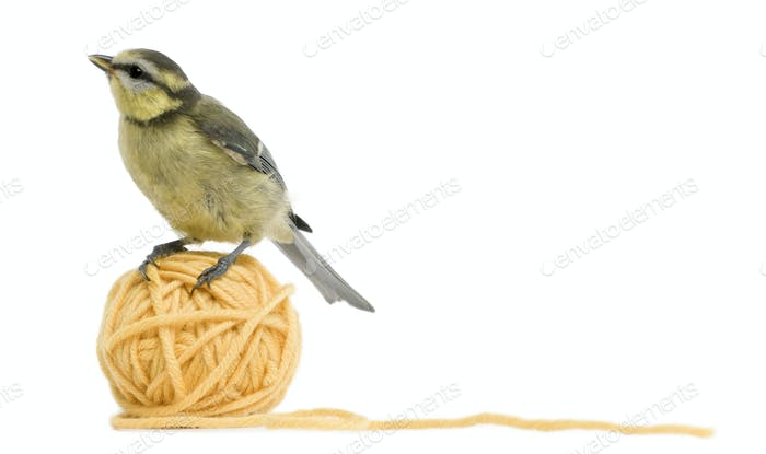 Young Blue Tit, Cyanistes caeruleus standing on ball of wool yarn in front of white background