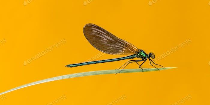 Male beautiful demoiselle, Calopteryx virgo, on a blade of grass in front of an orange background