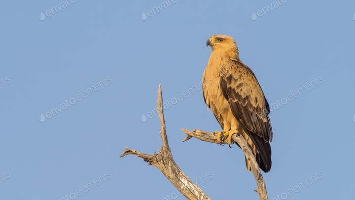 Perched Tawny Eagle in the Kalahari