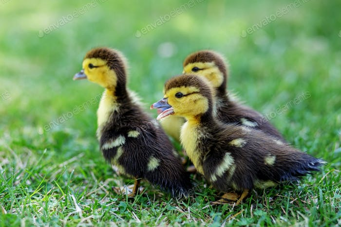 Many little ducklings walk on the grass. The concept of pets, farm, farming