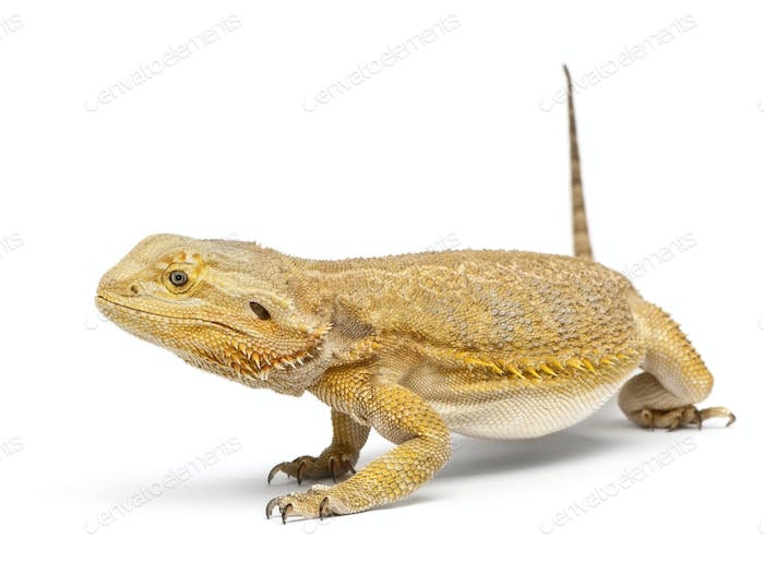 Central Bearded Dragon, Pogona vitticeps, in front of white background
