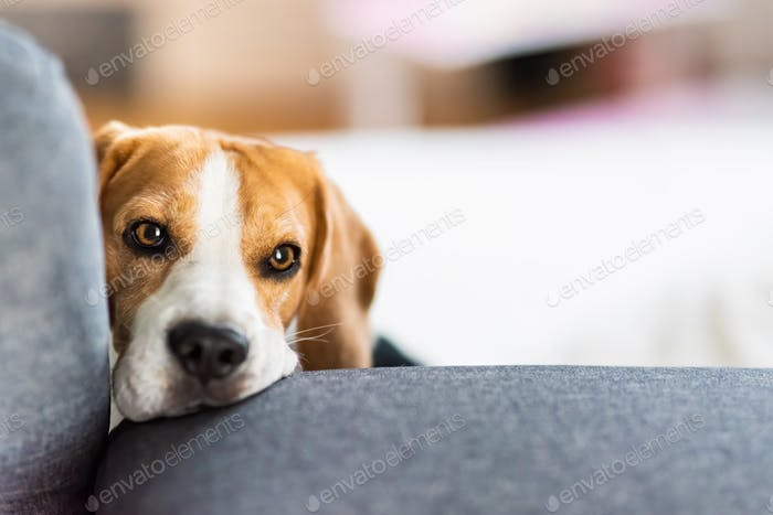 Beagle dog lying on couch, portrait in bright interior