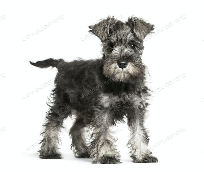 Miniature Schnauzer, 3 months old, in front of white background