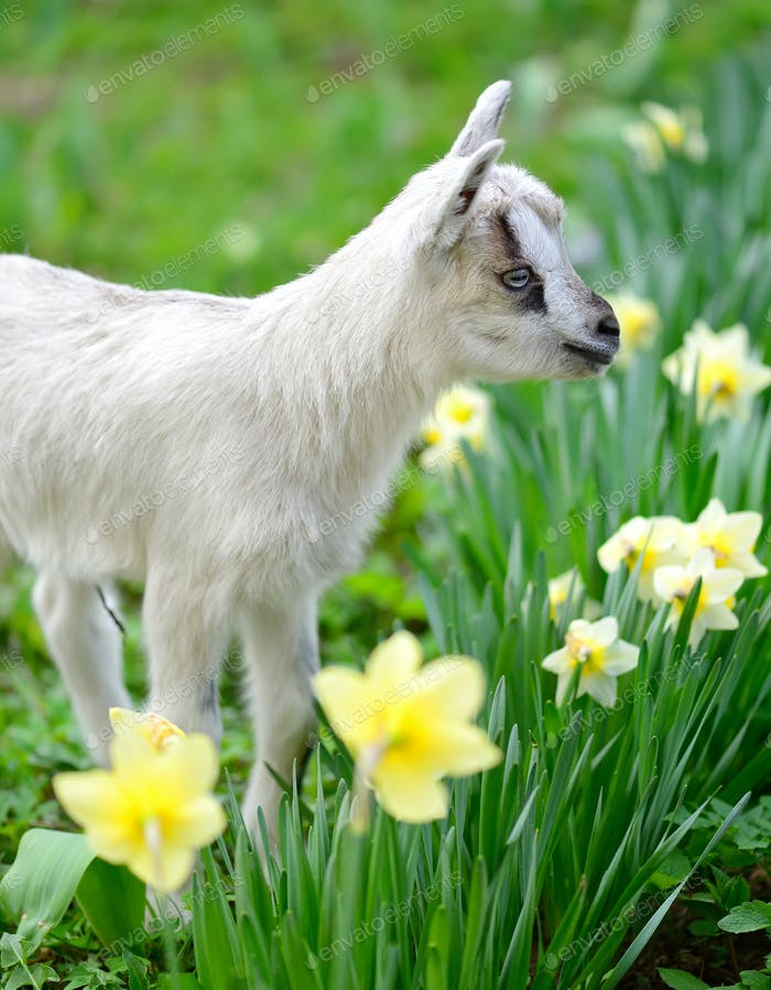 White baby goat standing on green lawn with flowers narcissus