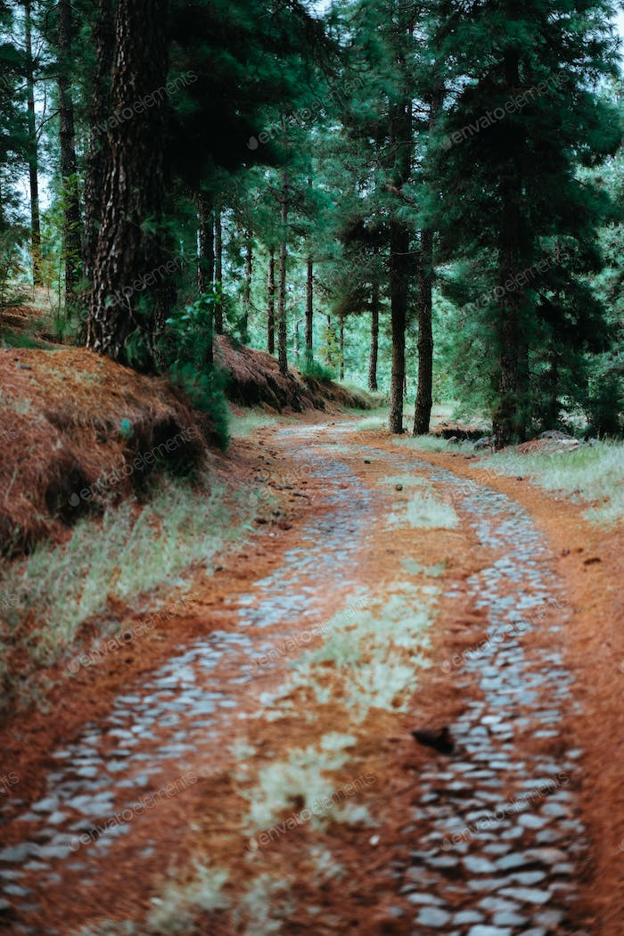 Old winding cobbledpath leading through an evergreen coniferous forest