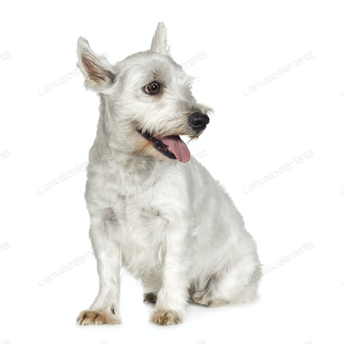 West Highland White Terrier (4 years)