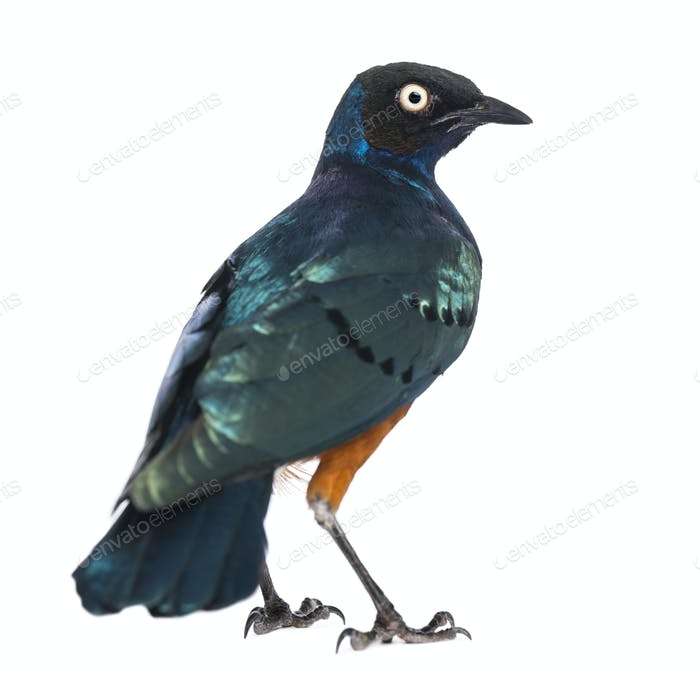 Thumbnail for Superb Starling - Lamprotornis superbus - isolated on white