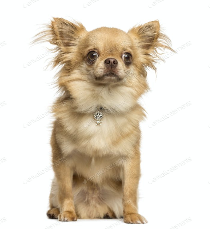 Sitting Chihuahua wearing a fancy collar, 2 years old, isolated on white