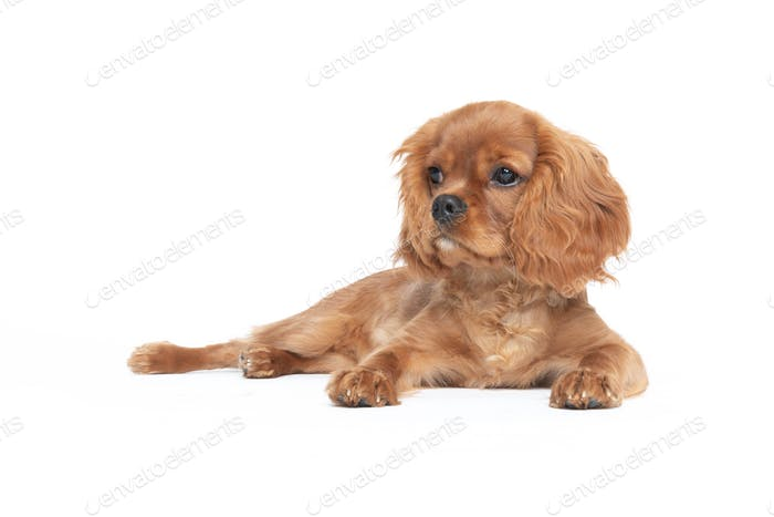 Thumbnail for Puppy of king charles cavalier spaniel isolated on white