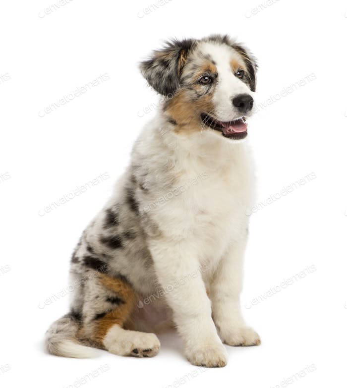 Australian Shepherd puppy, 3 months old, sitting and looking away against white background