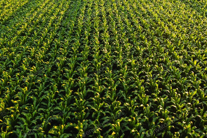 Low altitude aerial photo of rows of maize plant.