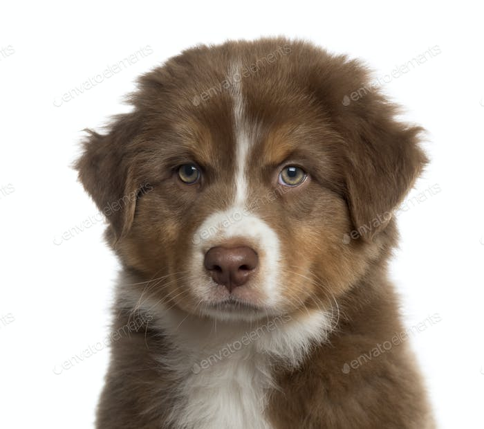 Close up of an Australian shepherd puppy isolated on white
