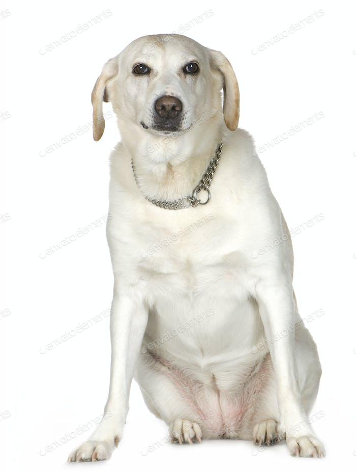 Labrador (11 years)