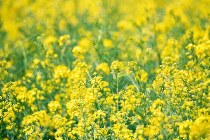 Feld von leuchtend gelbem Raps im Frühjahr