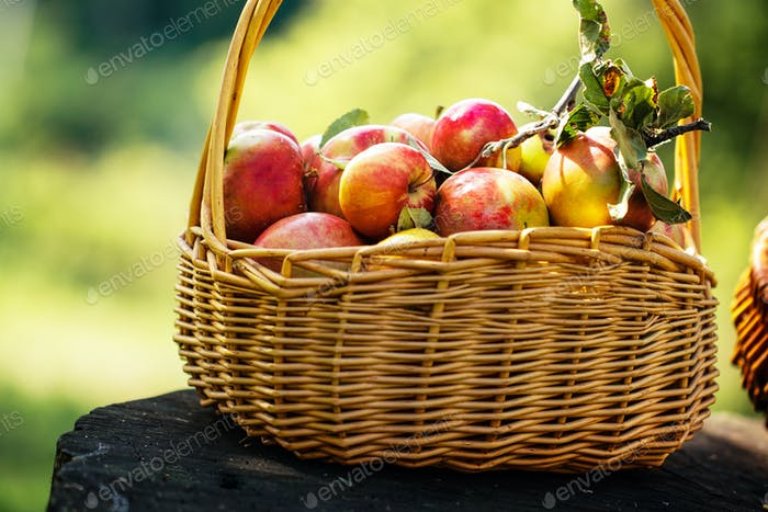 Fresly Picked Apples in Basket