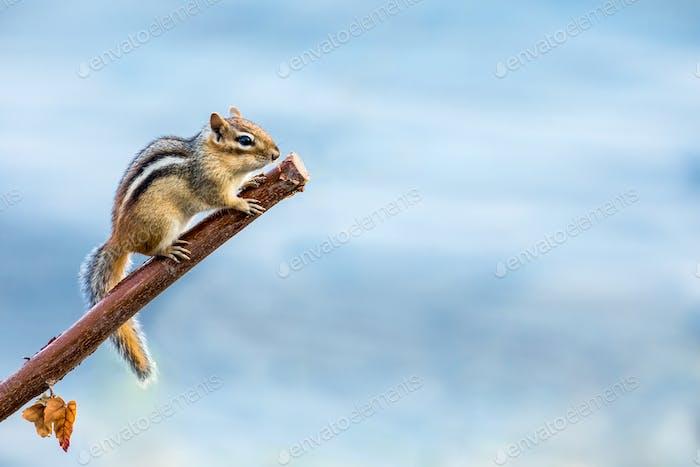 Eastern Chipmunk - Tamias striatus, climbing a branch.