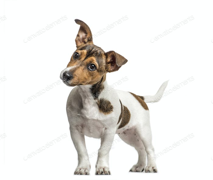 Jack Russell standing and bending head, isolated on white