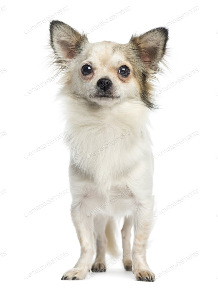 Chihuahua standing and facing, 1 year old, isolated on white