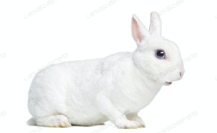 Side view of a Mini rex rabbit, isolated on white