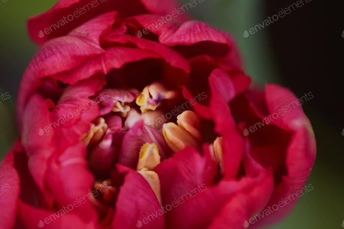 Beautiful Tulip in Garden Close up
