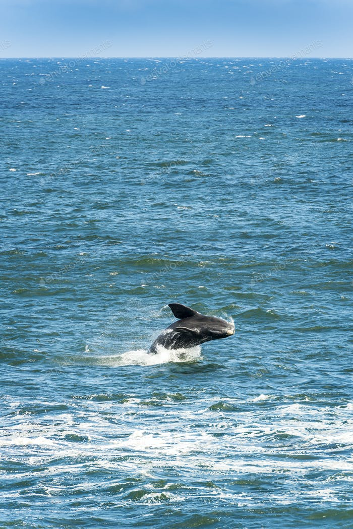 Southern Right Whale Jumping