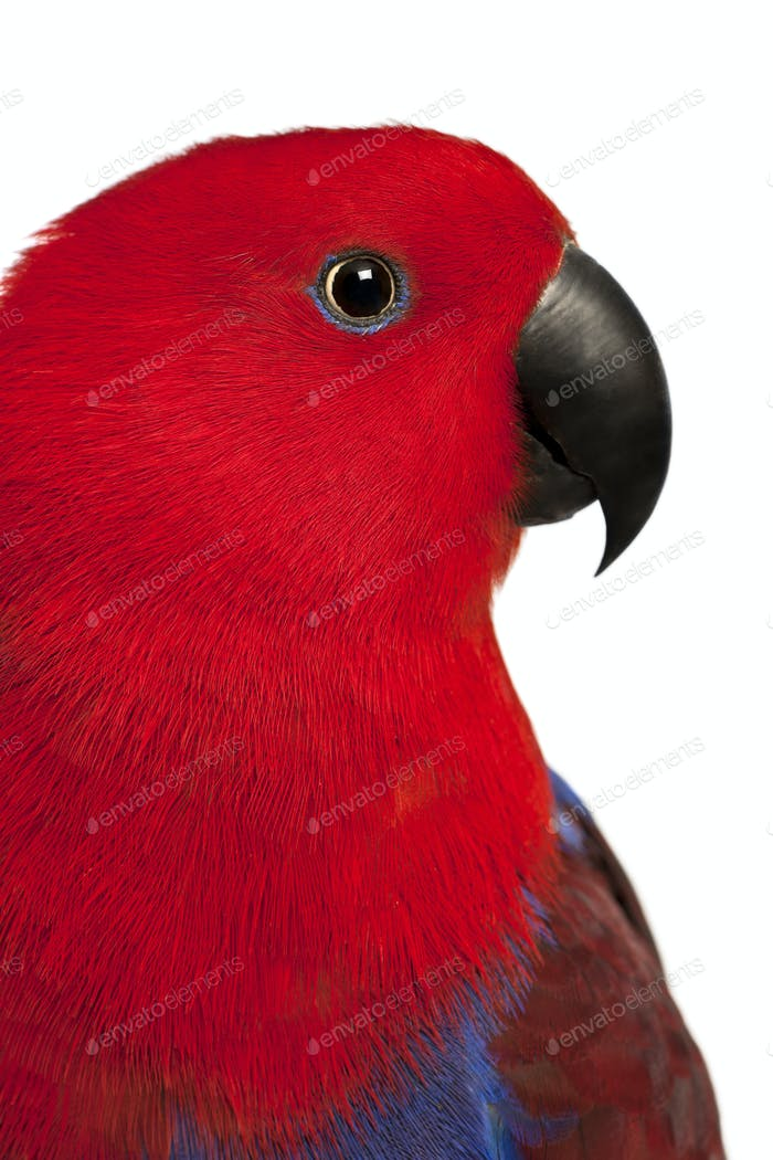 Close up of Female Eclectus Parrot, Eclectus roratus, in front of white background
