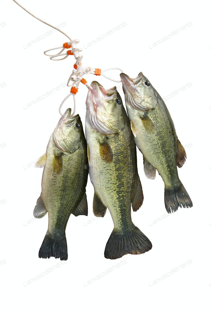 Stringer of Largemouth Bass Isolated on White Background