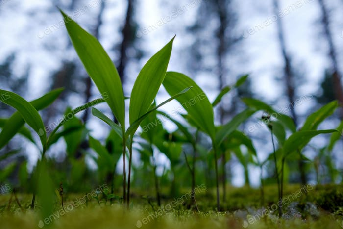 Lilies of the valley grow among mosses in the forest.