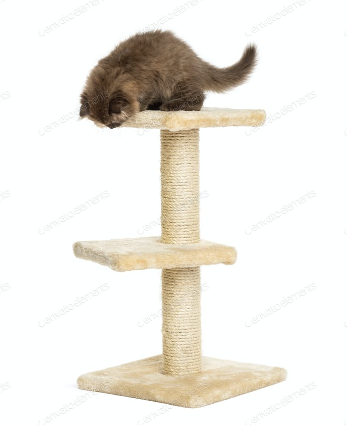Highland fold kitten on top of a cat tree, looking down, isolated on white