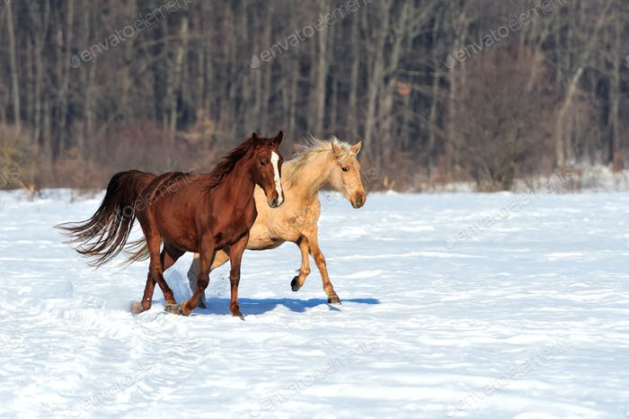 Horse runs gallop in winter time