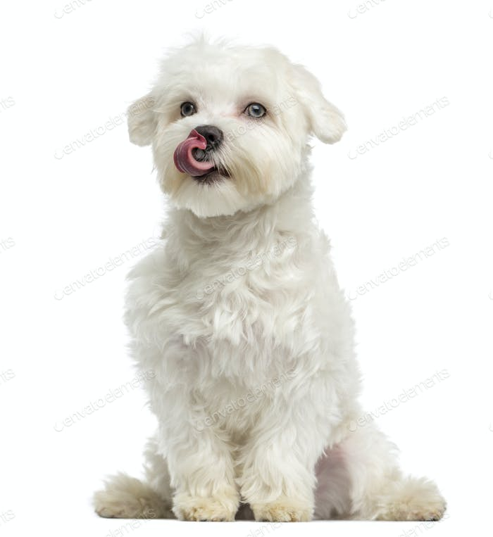 Maltese licking, sitting, 7 months old, isolated on white